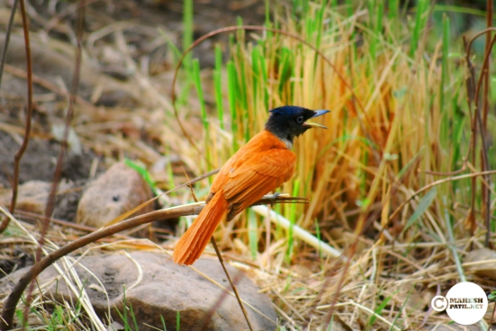 Female Paradise Flycatcher, MaheshPatil.net, Mahesh Patil