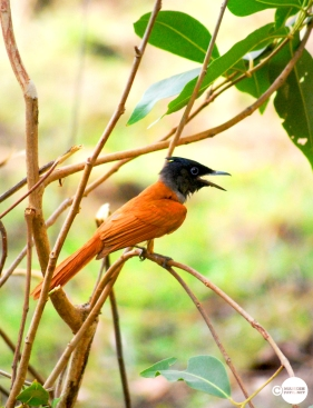 Female Paradise Flycatcher, Maheshpatil.net, mahesh, MaheshPatil, tadoba