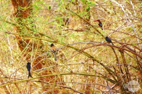 Kingfisher, Drongo, Paradise Fly Catcher, Mahesh Patil, Tadoba