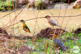 Indian Pitta, Bramhani Myna, Orange Headed Thrush, Mahesh Patil, Tadoba