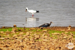 Black Ibis, Open Billed Stork