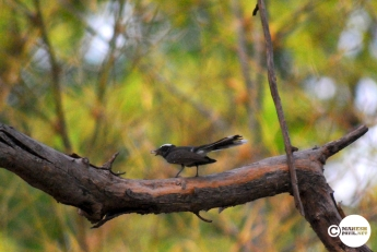 Fantail Flycatcher, Mahesh Patil, Tadoba