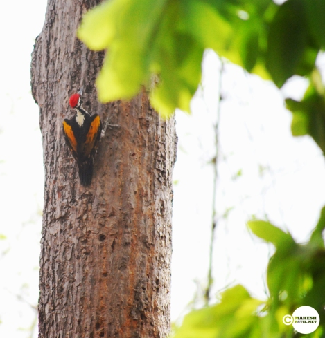 Flameback Woodpecker, Mahesh Patil, Tadoba