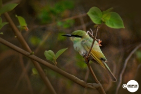 Green Bee Eater, Mahesh Patil, Tadoba
