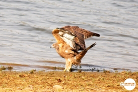 Indian Honey Buzzard, Mahesh Patil, Tadoba