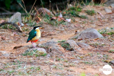 Indian Pitta, Mahesh Patil, Tadoba