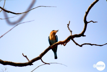 Blue Jay, Indian Roller, Neelpankhi, Mahesh Patil, Tadoba