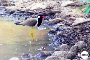 Teetwi or Red-wattled Lapwing, Mahesh Patil, Tadoba