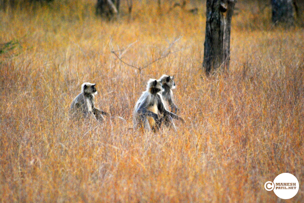Tadoba 4 : How to cross the road in a Jungle