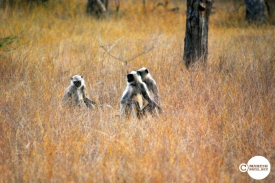 Tadoba Langurs... How to cross road in a Jungle