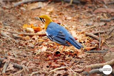 Orange Headed Thrush _ Mahesh Patil