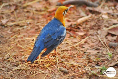 Orange-headed-Thrush_02
