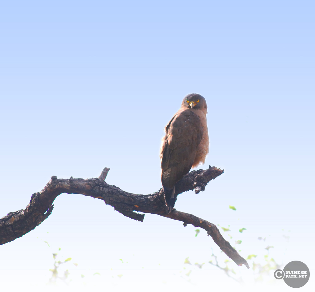 Tadoba 3 : Serpent Eagle