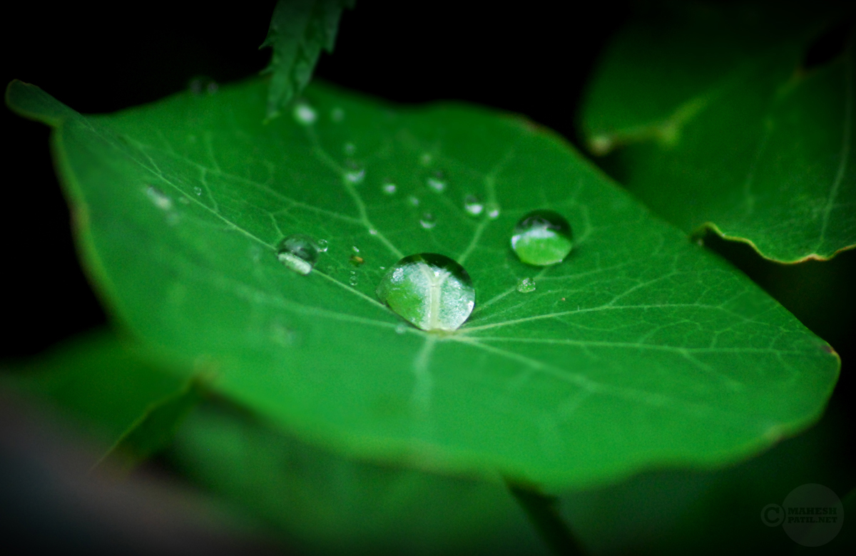 Dew Drops, Pearl, Leaf, Green, Fresh, mahesh Patil, Sikkim, Morning