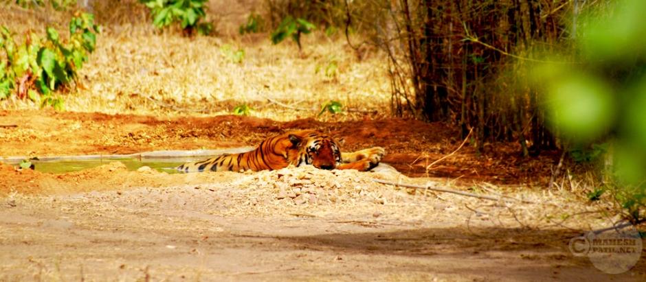 Cozy Summer Nap, Mahesh Patil, Tiger, Tadoba