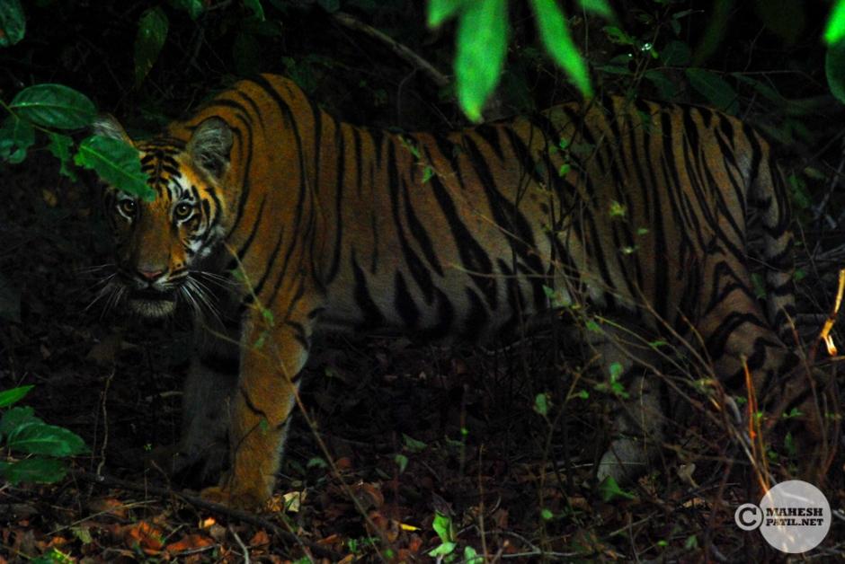 Waiting for an Ambush, Tiger. Cub. Tadoba