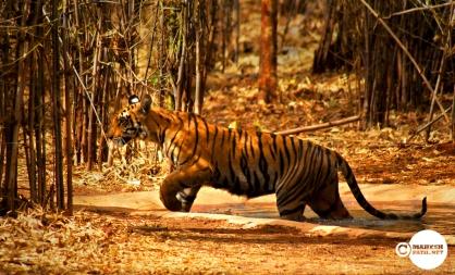 Tadoba Tigers, Mahesh Patil