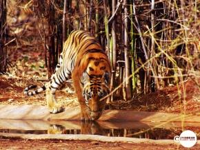 Tiger_day01_05