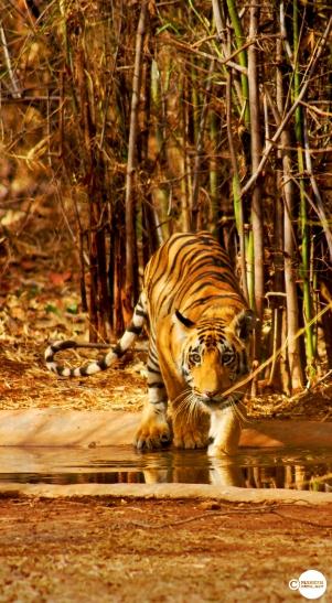 Tiger_day01_06