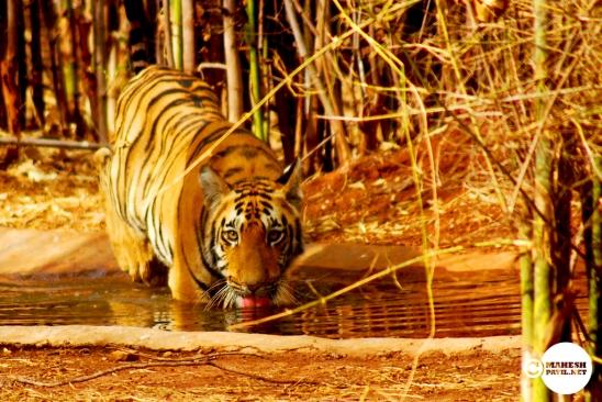 Tiger_day01_10