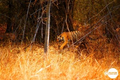 Tiger_day02_21
