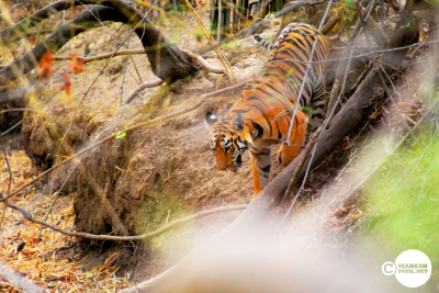 Tiger_day02_24