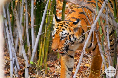 Tiger_day02_27