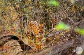 Tiger_day02_31