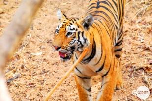 Tiger_day02_34