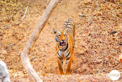 Tiger_day02_35