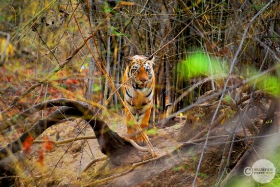 Tiger_day02_38