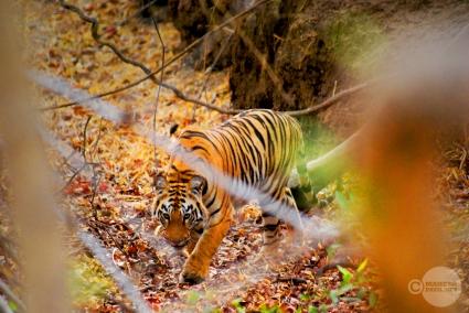 Tiger_day02_40
