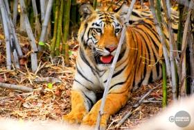 Tiger_day02_42