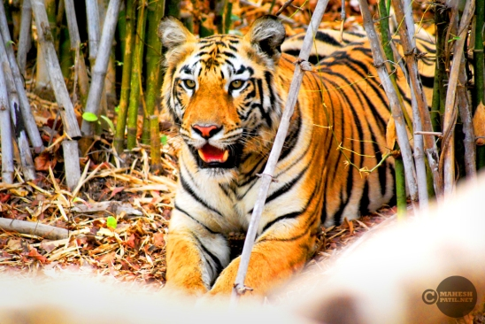 Tiger_day02_43