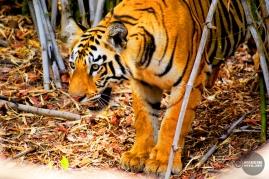 Tiger_day02_44