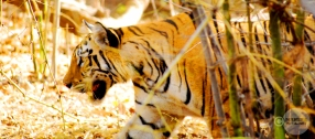 Tiger_day02_46