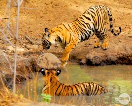 Tiger_day02_49