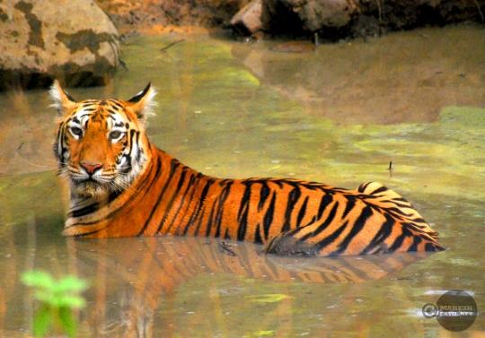 Tiger_day02_52