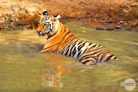 Tiger_day02_57