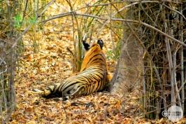 Tiger_day02_58