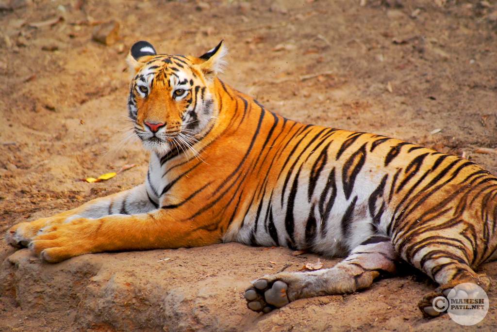 Tadoba 8 : Tigers of Tadoba