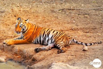Tiger_day03_04
