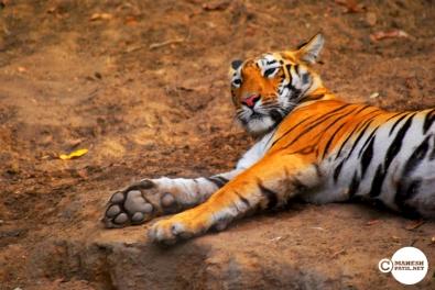 Tiger_day03_05