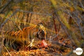Tiger_day03_07